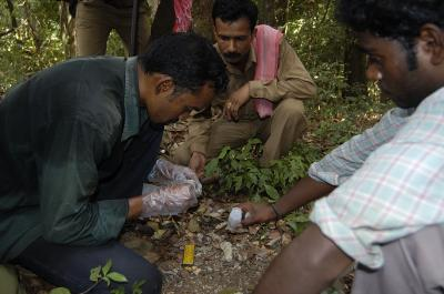 Collecting tiger's poo allows scientists to count the population size.